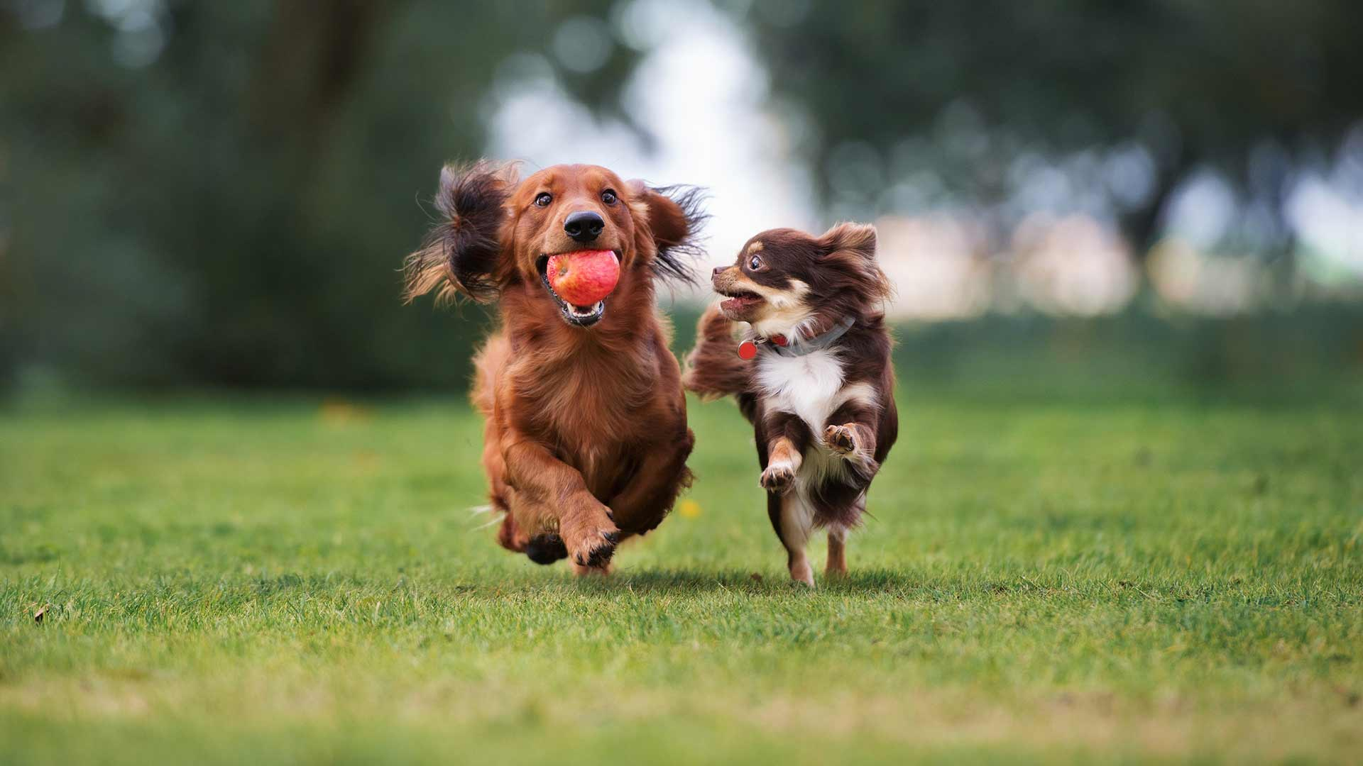 Two small dogs playing with an apple while running across the grass